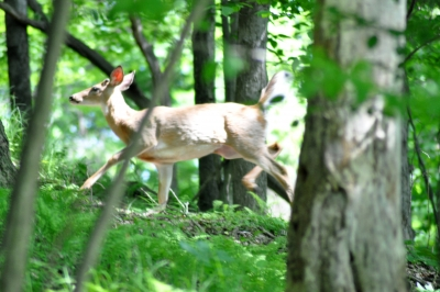 Deer Running In The Woods