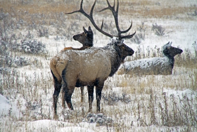 First Snow For Colorado Elk