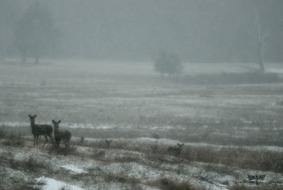 Wintering Whitetails