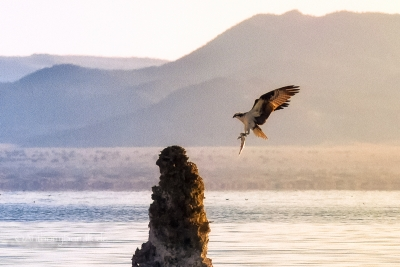 Mono Lake Osprey