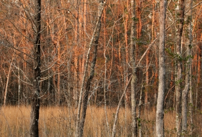 Late Afternoon At The Flatwoods