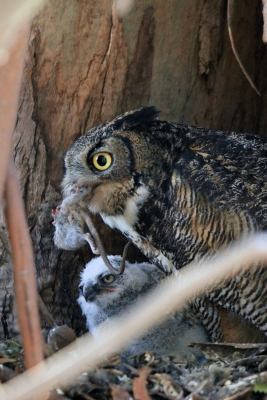 Horned Owl At Rush Ranch