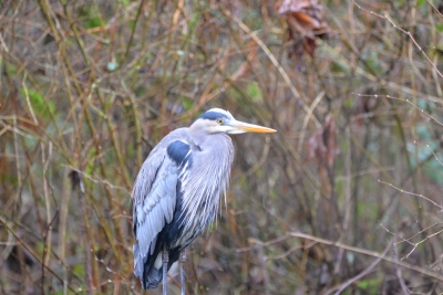 Goldstream Blue Heron.