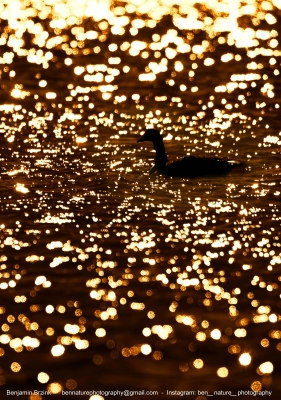 Goose In Golden Water