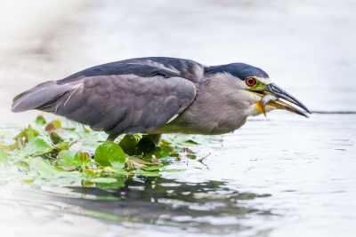 Night Heron Fishing, Maui