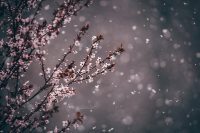 Plum Blossoms In The Snow