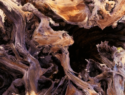 High Sierra Tree Trunk