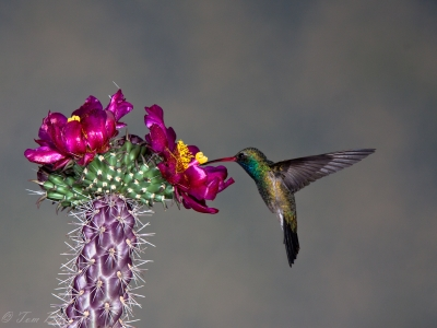 Broad Billed Hummingbird At Cholla Flower