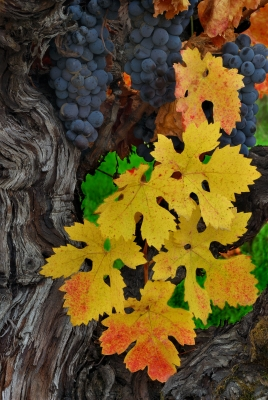 Grape Leaves And Fruit