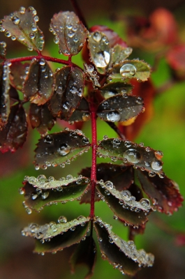 Summer Dew Drops