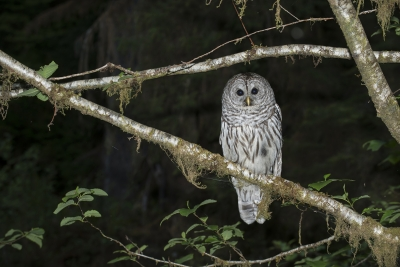 Great Barred Owl