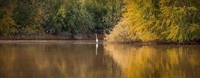 Egret In Autumn