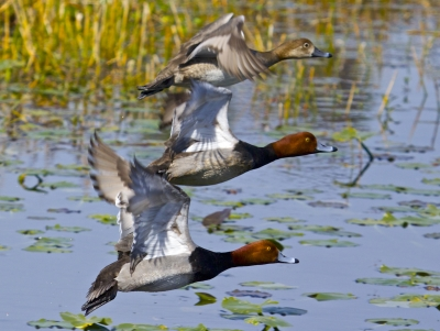Rehead Duck Fly By – 2 Males, 1 Female