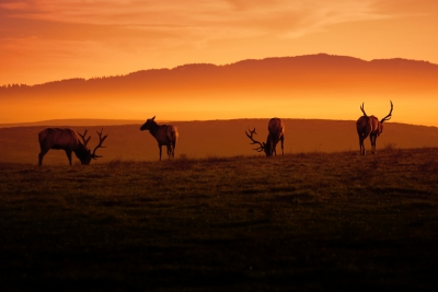 Tule Elk And Morning Sun