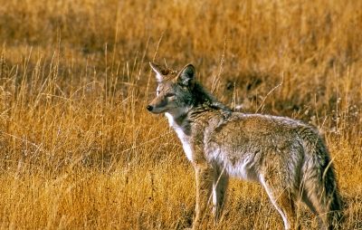 Yellowsyone Coyote