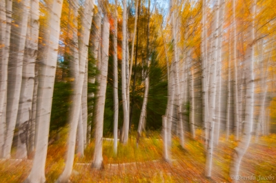 Passing Birches In The Fall