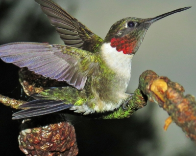 Ruby Throat Hummer
