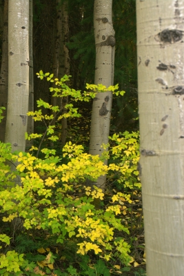 Aspens In The San Juan National Forest