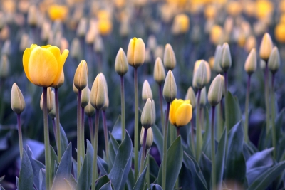 Yellow Tulips In Early Spring