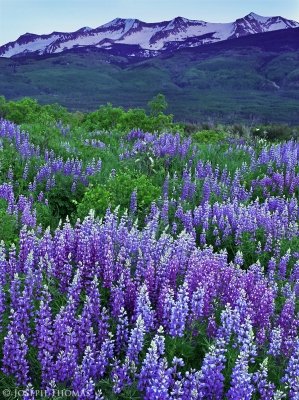 Elk Mountains And Lupine At Dusk