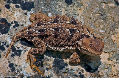 Short-horned Lizard On Lichen Covered Rock