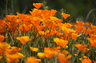 Up Close To The Poppies