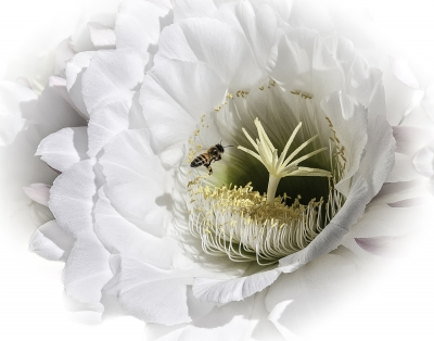 Echinopsis And Bee