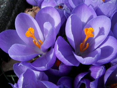 Crocuses – Early Sign Of Spring!