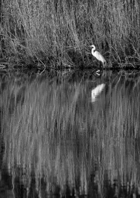 Great Egret Reflects