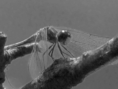 Black And White Dragonfly
