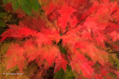 Abstract Fall Maple