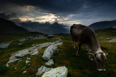 Very Hungry Crunching And Munching Cow At Dawn