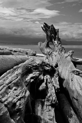 Driftwood At The Olympic Peninsula