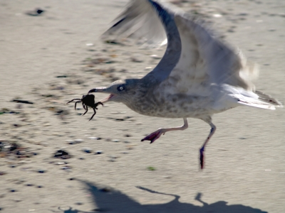 Gull With Lunch
