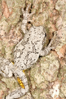 Gray Treefrog Camouflaged On Bark
