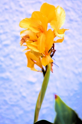 Yellow Bloom Against Stucco