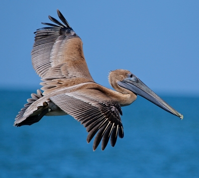 Young Brown Pelican In Flight