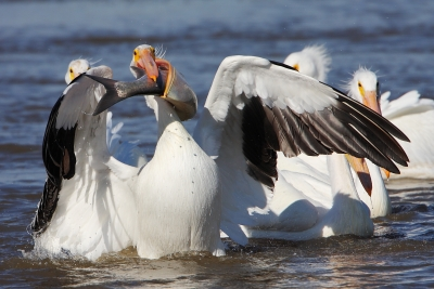 White Pelican With Breakfast