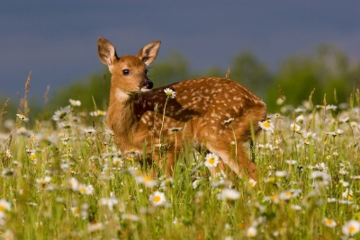 Fawn In A Field Of Daisies