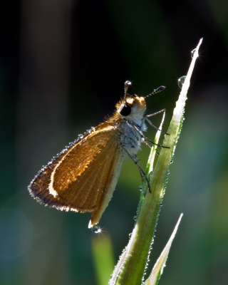 Least Skipper With Dew