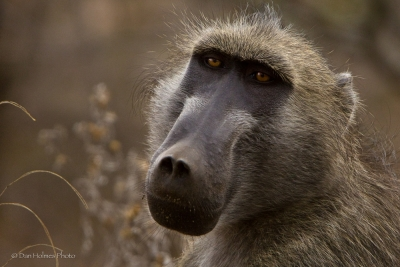 A Baboon Moment