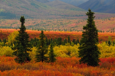 Autumn On The Taigi In Denali