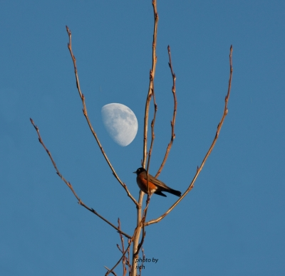 Robin In The Moon Light