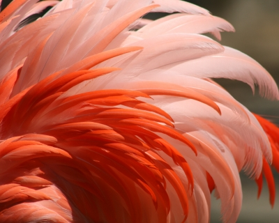 Beauty Of The Flamingo
