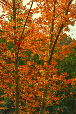 Big Leaf Maple In Full Autumn Glory