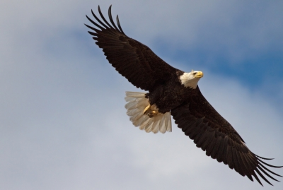 Bald Eagle Soars