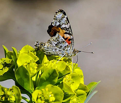 Two Toned Butterfly