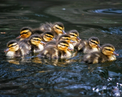 The Duckling Gang