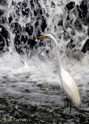 Great Egret Fishing
