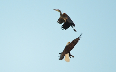 Bald Eagle Defends His Territory With A Blue Heron